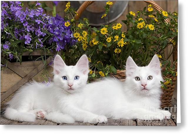 House Pet Greeting Cards - Turkish Angora Kittens Greeting Card by Jean-Michel Labat