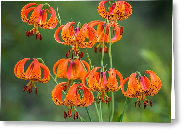 Decorate Greeting Cards - Turks Cap Lily Greeting Card by Paul Freidlund