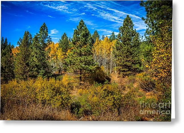 Fall Colors Greeting Cards - Turning Aspen Greeting Card by Robert Bales