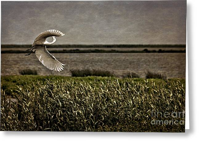 Wildlife Refuge. Greeting Cards - Turning in Flight Greeting Card by Tom Gari Gallery-Three-Photography