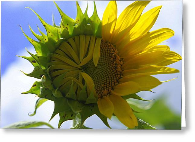 Yellow Sunflower Greeting Cards - Turning Point Greeting Card by Laurie Perry