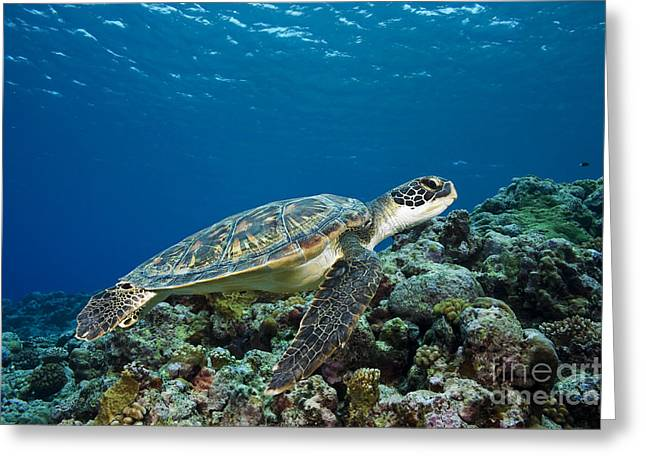Yapping Greeting Cards - Turtle above Reef Greeting Card by Dave Fleetham - Printscapes