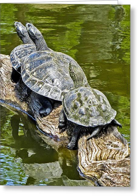 Key West Greeting Cards - Turtle Family Greeting Card by Bob Slitzan