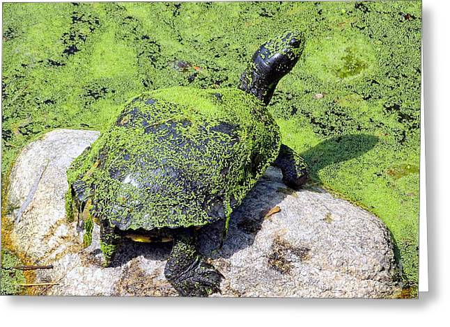 Algae Greeting Cards - Turtle In Green Greeting Card by Ed Weidman