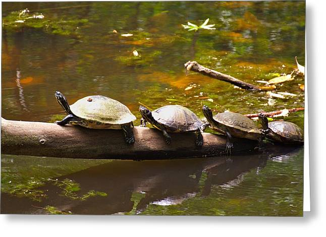 Swans... Greeting Cards - Turtle Lineup Greeting Card by Brian Hamilton
