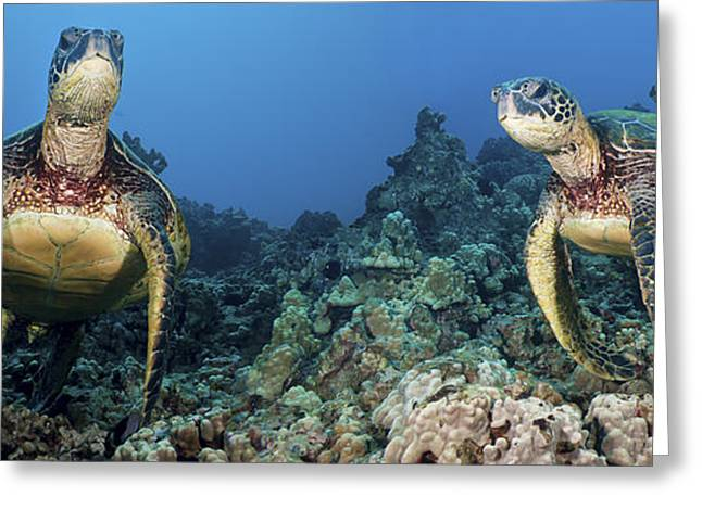 Sea Animals Greeting Cards - Turtle Panorama Greeting Card by Dave Fleetham - Printscapes