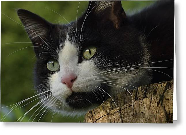 Surveying Greeting Cards - Tuxedo cat in a tree Greeting Card by TouTouke A Y