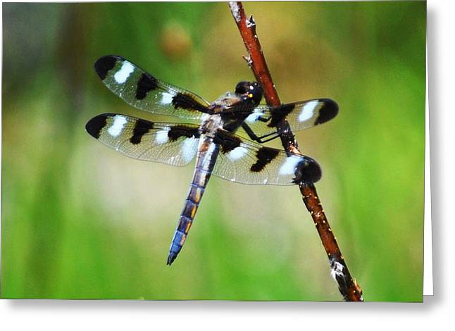 Greeting Card featuring the photograph Twelve Spotted Skimmer by Rodney Campbell