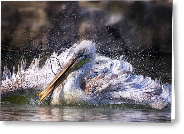 Pelicans Greeting Cards - Twig Greeting Card by C.s.tjandra