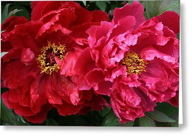 Twin Peonies Greeting Card by Bruce Bley