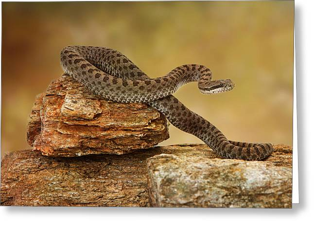 Lethal Greeting Cards - Twin-Spotted Rattlesnake On Top of Rock Greeting Card by Susan  Schmitz