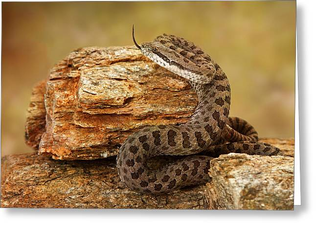 Zoology Greeting Cards - Twin-Spotted Rattlesnake With Tongue Out Greeting Card by Susan  Schmitz