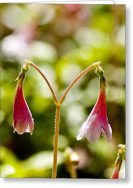 Twinflower Greeting Card by Allan MacDonald