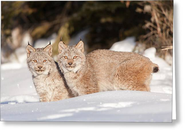 Bobcats Greeting Cards - Twins Greeting Card by Sandy Brooks