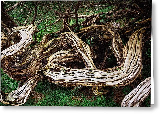 Twisted Old Tree Greeting Card by Garry Gay