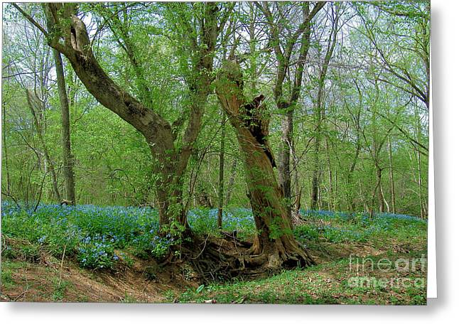 Centreville Greeting Cards - Twisted Trees and Bluebells Greeting Card by Cortney Price