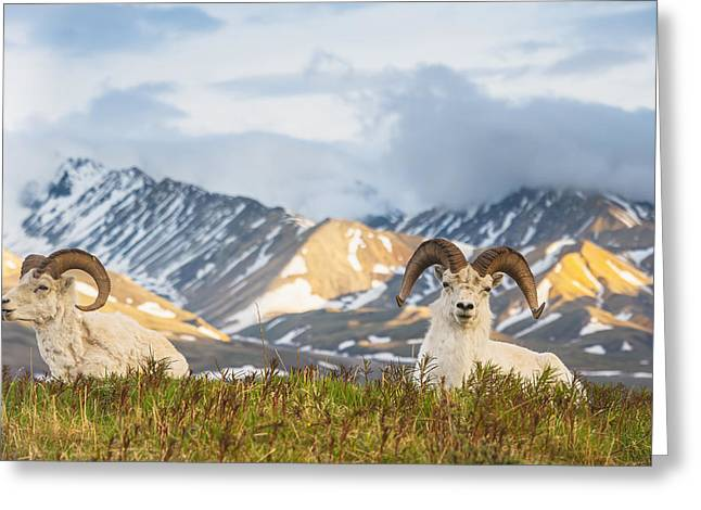 Two Adult Dall Sheep Rams Resting Greeting Card by Michael Jones