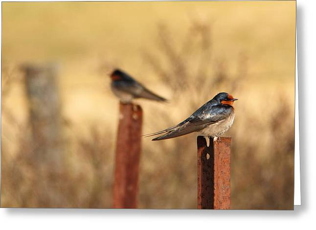 Two Birds - Welcome Swallows Greeting Card by Virginia Halford