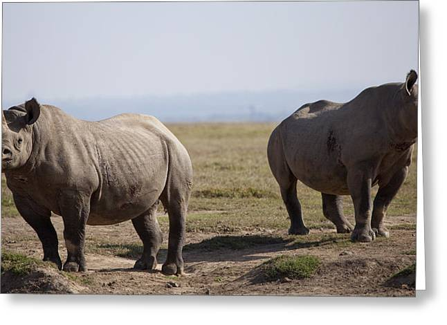 Wildlife Refuge. Greeting Cards - Two Black Rhinos In Solio Rhino Greeting Card by Robin Moore