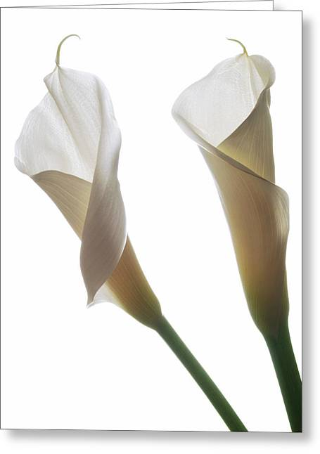 Calla Lily Greeting Cards - Two Calla Lilies Greeting Card by Terence Davis