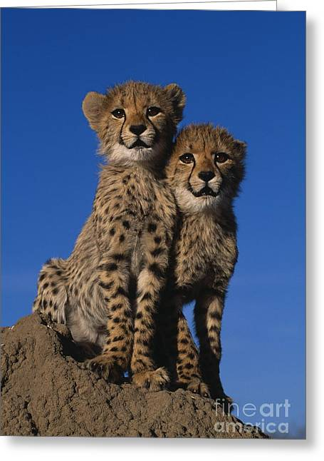 Cheetah Photographs Greeting Cards - Two Cheetah Cubs Greeting Card by Martin Harvey and Photo Researchers