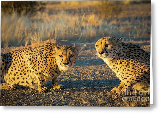 Two Cheetahs Greeting Card by Inge Johnsson
