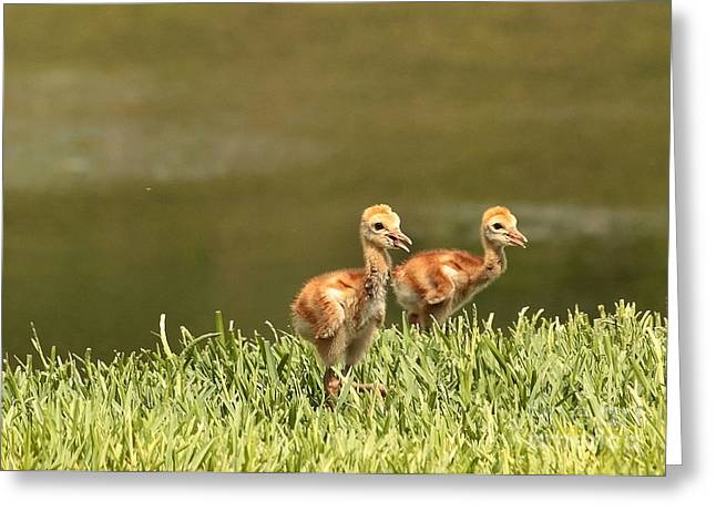 Sandhill Crane Greeting Cards - Two Chicks Greeting Card by Carol Groenen
