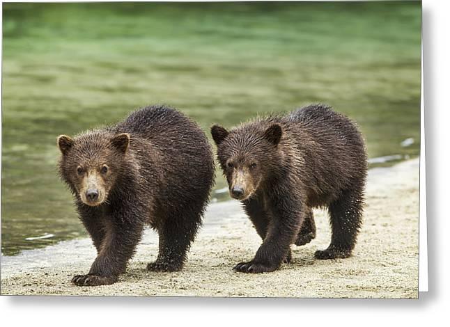 Alert Bay Greeting Cards - Two Coastal Brown Bear Spring Cubs Greeting Card by Paul Souders