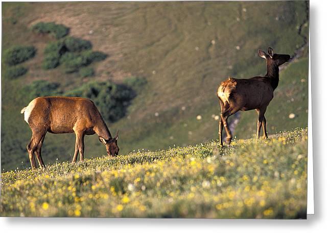 Two Deer Greeting Cards - Two Deer Graze On The Alpine Ridge Greeting Card by Richard Nowitz