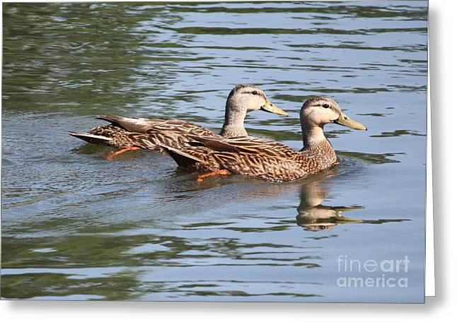 Ripples In Water Greeting Cards - Two Ducks on the Pond Greeting Card by Carol Groenen