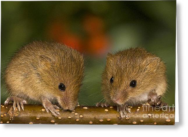 Mouse Photographs Greeting Cards - Two Eurasian Harvest Mice Greeting Card by Jean-Louis Klein & Marie-Luce Hubert