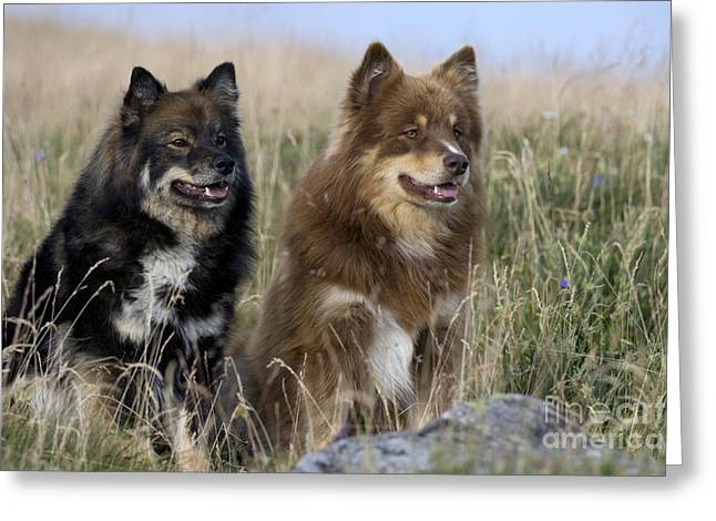 Watchdog Greeting Cards - Two Finnish Lapphunds Greeting Card by Jean-Louis Klein & Marie-Luce Hubert