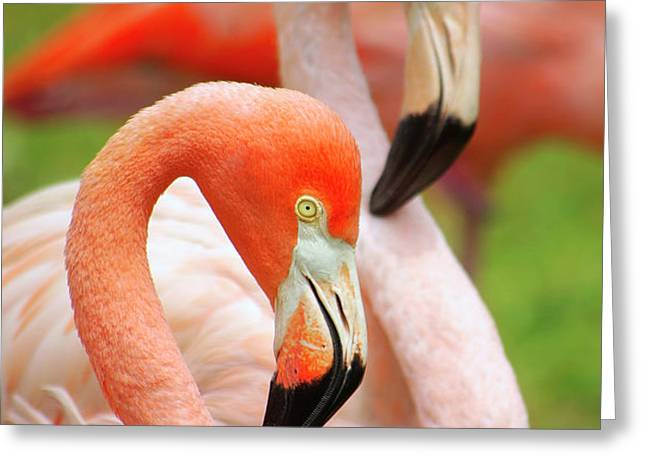 Two Flamingoes Greeting Card by Carlos Caetano