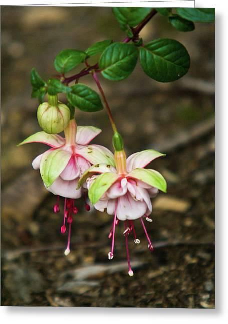 Fushia Greeting Cards - Two Fushia Blossoms Greeting Card by Douglas Barnett