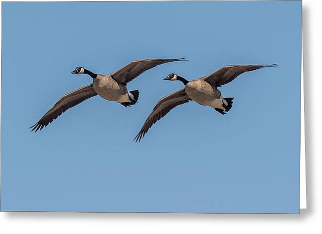 Two Geese Greeting Card by Paul Freidlund