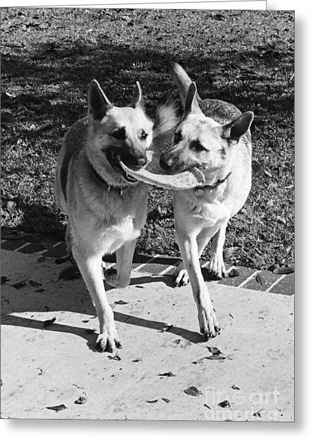 Two German Shepherds Share A Frisbee Greeting Card by Lynn Lennon