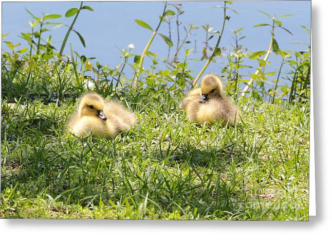Baby Bird Greeting Cards - Two Goslings Greeting Card by Carol Groenen