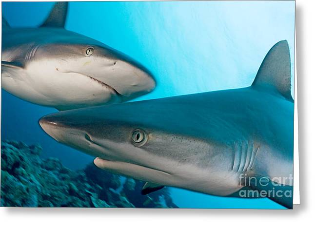 Yapping Greeting Cards - Two Gray Reef Sharks Greeting Card by Dave Fleetham - Printscapes