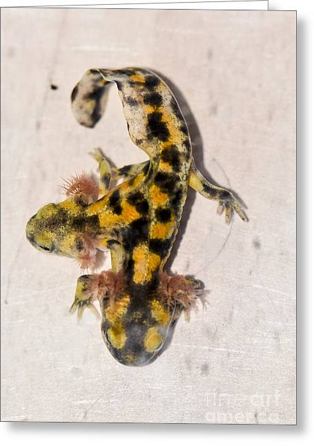 Two-headed Near Eastern Fire Salamande Greeting Card by Shay Levy