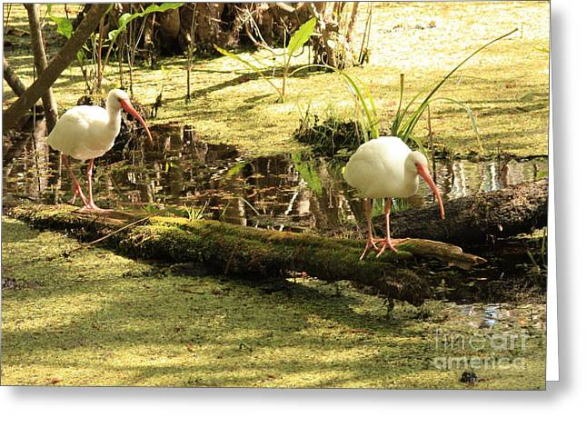 Two Birds Greeting Cards - Two Ibises on a Log Greeting Card by Carol Groenen