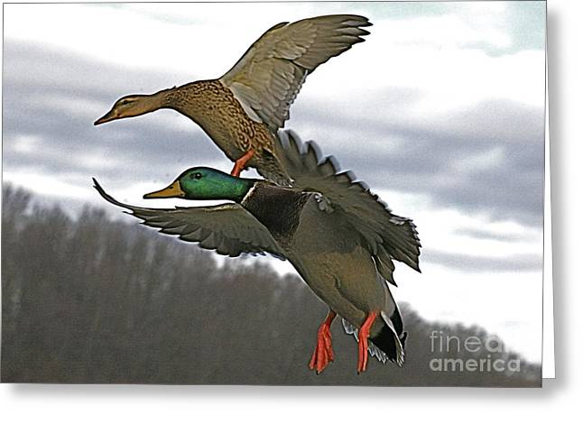 Water Fowl Mixed Media Greeting Cards - Two land Greeting Card by Robert Pearson