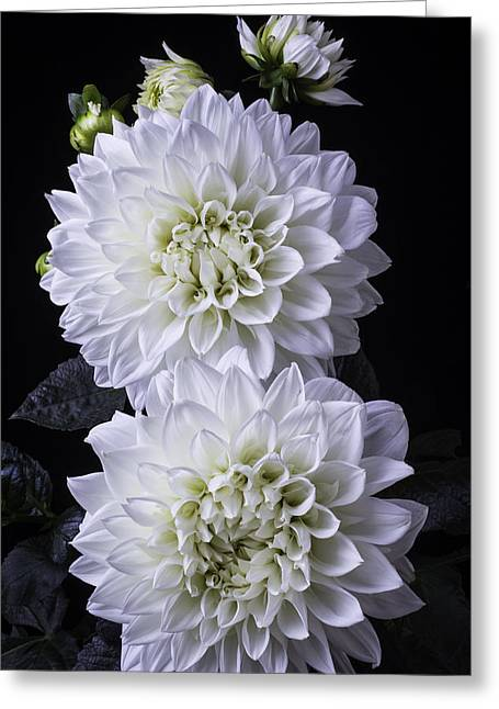 White Photographs Greeting Cards - Two Large White Dahlias Greeting Card by Garry Gay