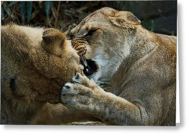 Growling Greeting Cards - Two Lions Playing Greeting Card by Stuart Litoff
