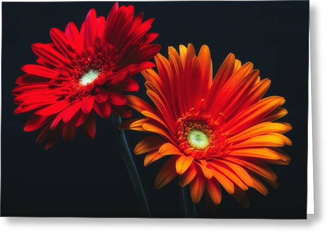 Studio Lighting Greeting Cards - Two Luminous Daises Greeting Card by George Oze