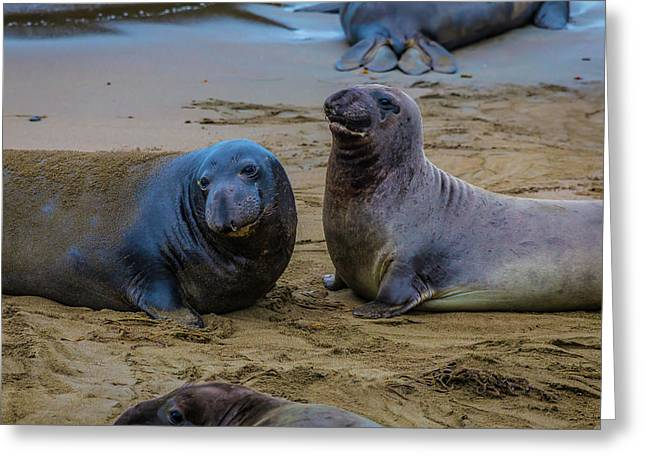 Two Male Elephant Seals Greeting Card by Garry Gay