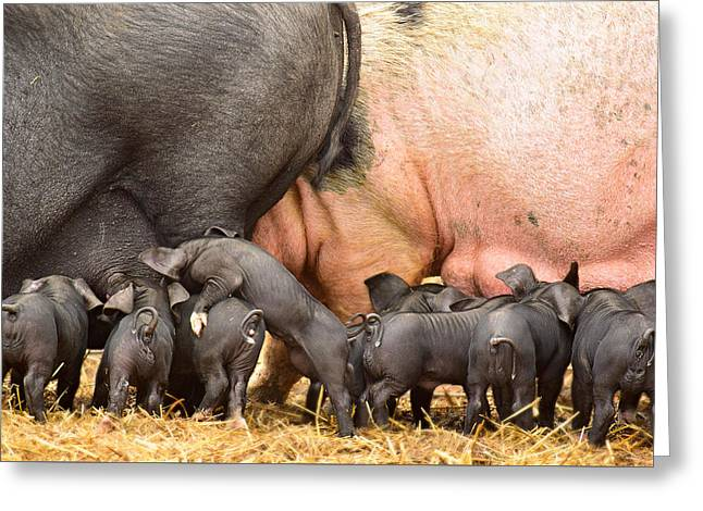 Piglets Greeting Cards - Two Mamas Greeting Card by Soul Full Sanctuary Photography By Tania Richley