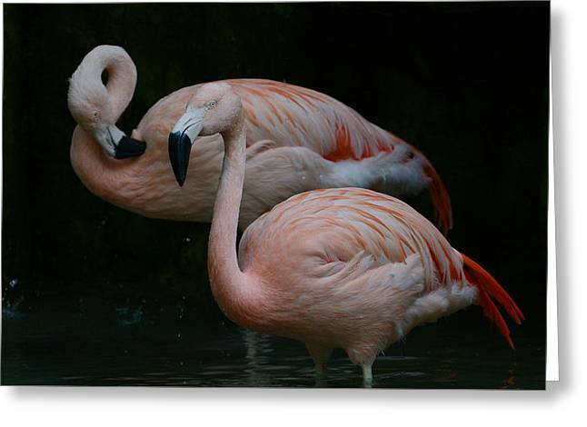 Greater Flamingos Greeting Cards - Two Of A Kind Greeting Card by Fraida Gutovich