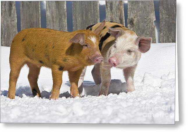 Litter Mates Photographs Greeting Cards - Two Piglets Greeting Card by Jean-Louis Klein & Marie-Luce Hubert