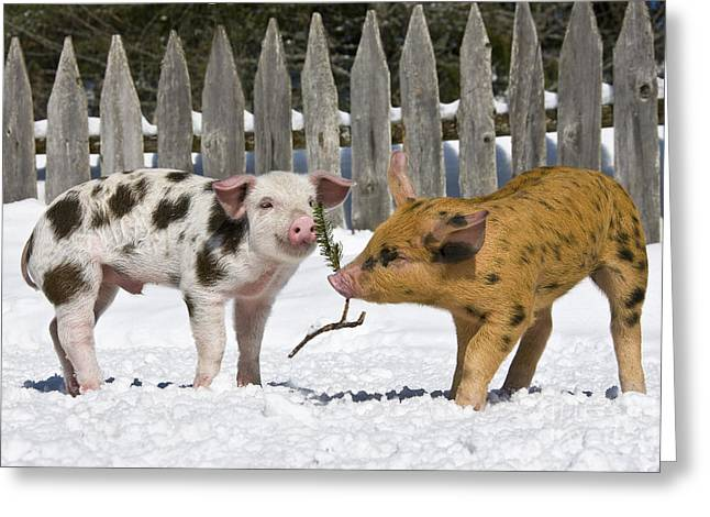 Litter Mates Greeting Cards - Two Piglets Playing Greeting Card by Jean-Louis Klein & Marie-Luce Hubert