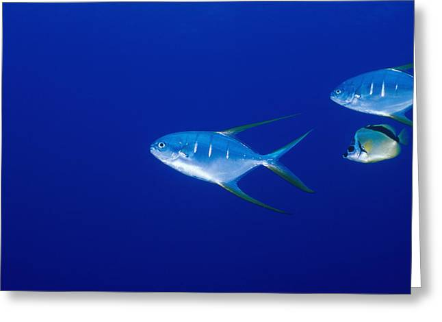 Reef Fish Photographs Greeting Cards - Two Pompano Fish And A Cleaner Fish Greeting Card by James Forte